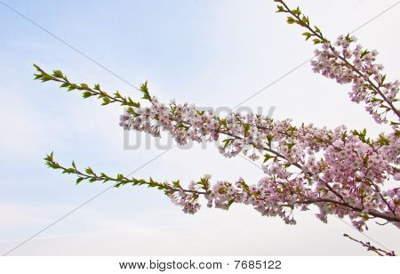 Sakura Blooming Flowers