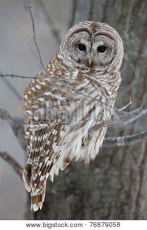 Barred Owl - Looking At Camera