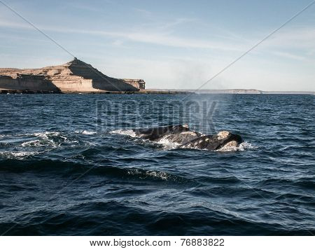 Two Right Whales Puerto Madryn
