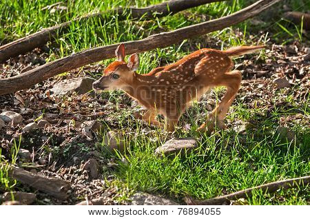 White-tailed Deer (odocoileus Virginianus) Fawn Runs Left