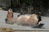Przewalski's horse (Equus ferus przewalskii) rolling in dust. poster