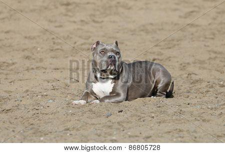 Pitbull lying in the sand