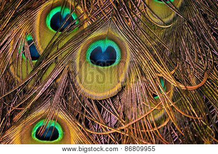 Indian Blue Peacock feather background