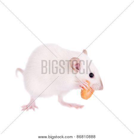 White Laboratory Rat Eating Carrot