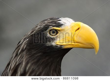 Closeup portrait of a Steller's sea-eagle (Haliaeetus pelagicus).