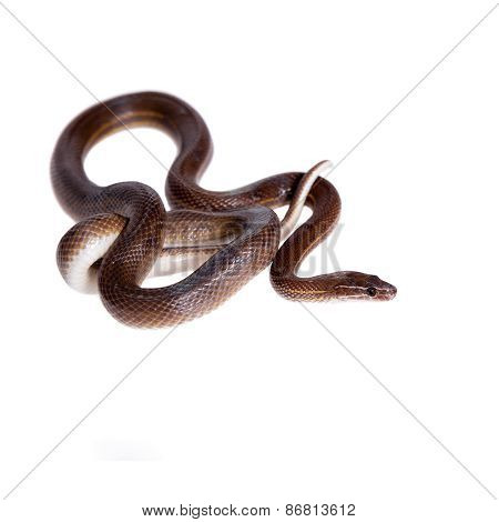 Striped House Snake On White Background