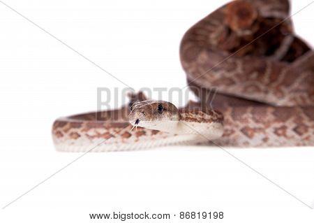 Hispaniolan Boa On White Background