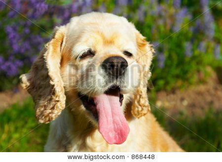 Cocker spaniel smiling