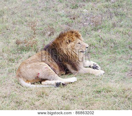 Dormant Lion, Safari Park Taigan, Crimea.