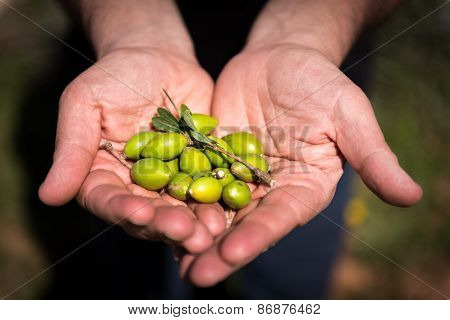 Fresh Argan Fruits