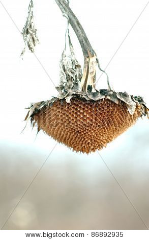 Withered Sunflower Head Without Seeds In Winter
