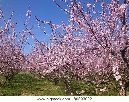 blooming peach trees in spring