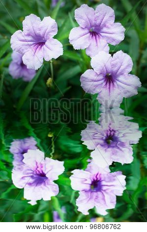 Purple Flowers Or Ruellia Tuberosa Linn.