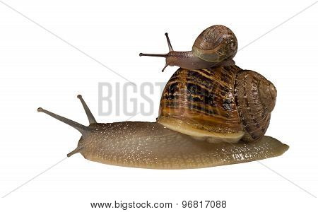 Small Snail Riding On Bigger Snail