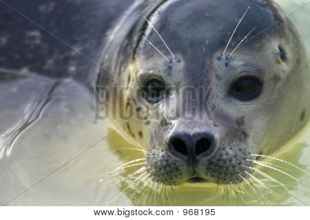 a close shot of a young seals face poster