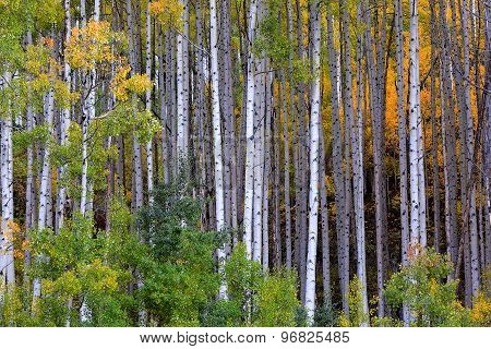 White aspen trees in autum