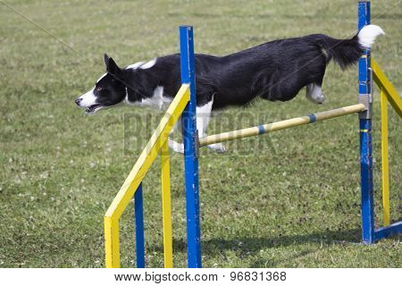Dog Agility jumping over a hurdle during an agility competition poster