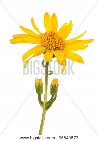 Arnica montana isolated on a white background poster