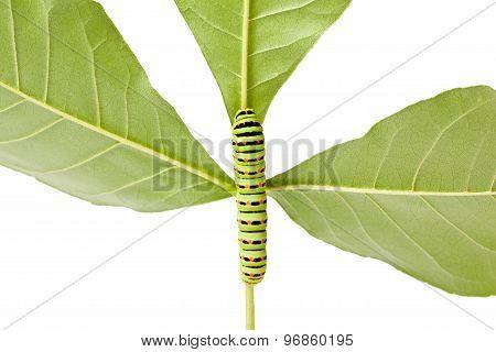 Caterpillar Climbing On Twig