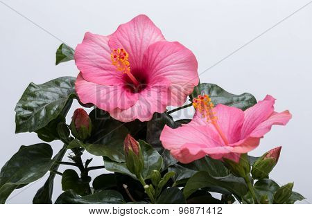 pink hibiscus flower isolated on white background ** Note: Soft Focus at 100%, best at smaller sizes