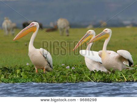 Three Pelecanus Onocrotalus