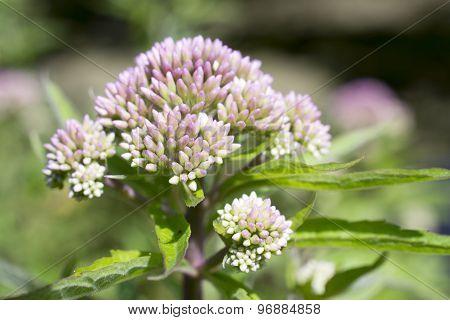 Valerian flower.