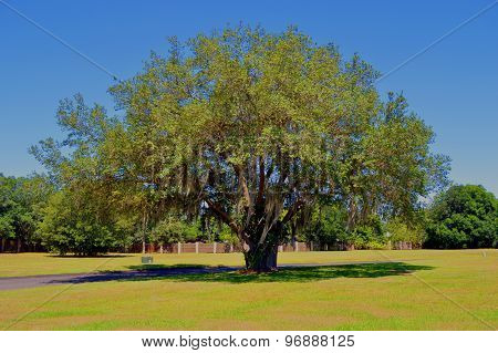 Oak tree Latin name Quercus virginiana with Spanish moss growing on it