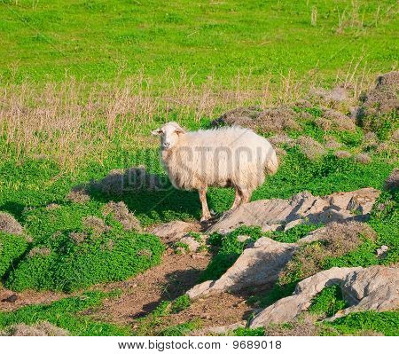 ram on a rock in the middle of green meadows poster