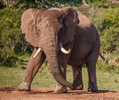 Male African Elephant with Large Tusks in an aggressive stance poster