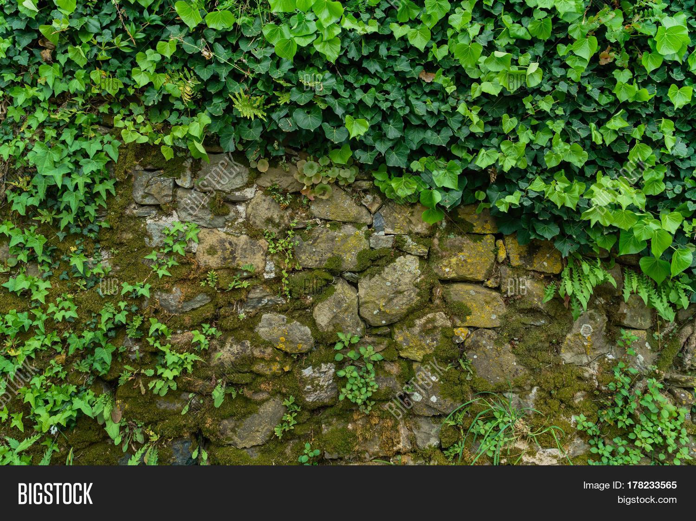 плющ на камнях картинки для