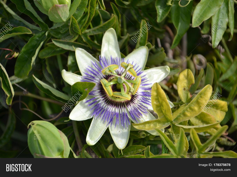 Passiflora Caerulea Image Photo Free Trial Bigstock