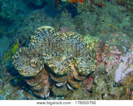 The surprising underwater world of the Bali basin, Island Bali, Lovina reef, clam