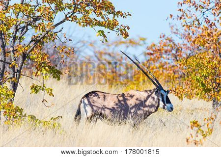 Oryx Hiding In The Bush. Wildlife Safari In The Mapungubwe National Park, Travel Destination In Sout