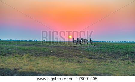 Herd Of Zebras Walking In The Bush In Backlight At Sunset. Scenic Colorful Sunlight At The Horizon.