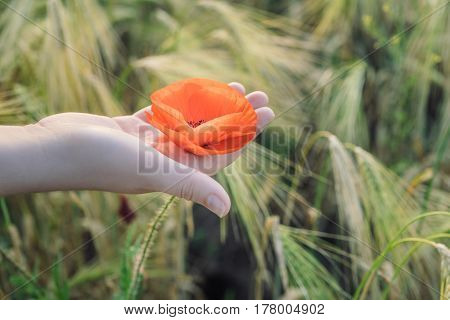 Woman holds red poppy in hands in the field in summer. Wheat field at the background