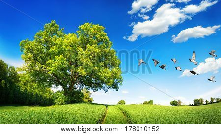 Large oak tree on a green field a sunny scene with deep blue sky and white clouds flying birds and tracks leading to the horizon