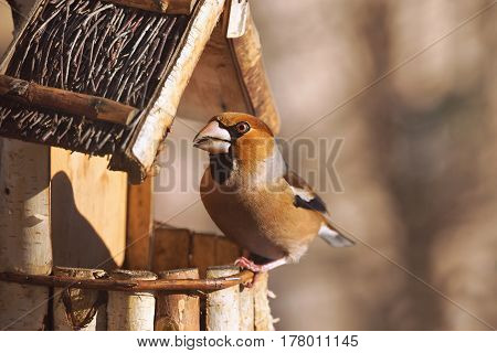 Hawfinch (Coccothraustes coccothraustes) Chaffinch in the feeder