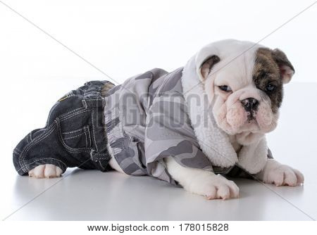 adorable male bulldog puppy wearing winter jacket