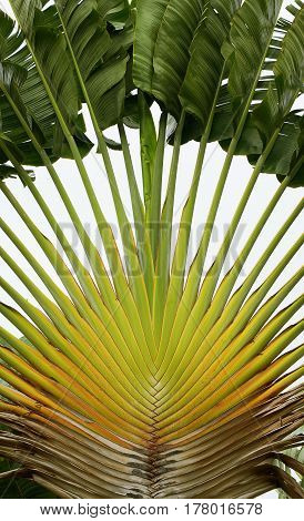 Leaves of traveller's palm Ravenala madagascariensis, Cambodia poster