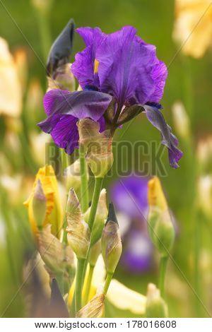 Iris (iris L.), Flowers In Garden