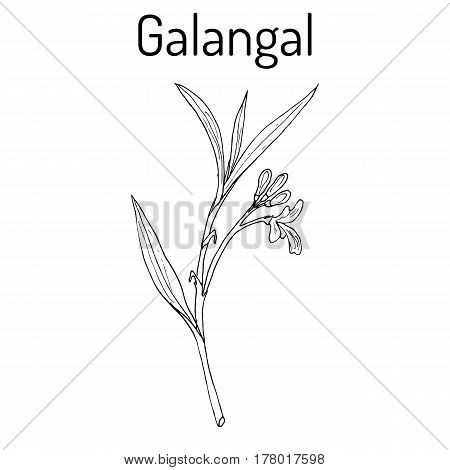 Illustration Of Galangal, Essential Nutrient For Life.