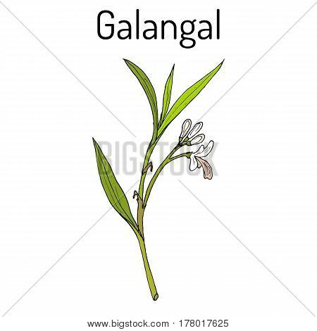 Galangal Alpinia Officinarum , Medicinal Plant