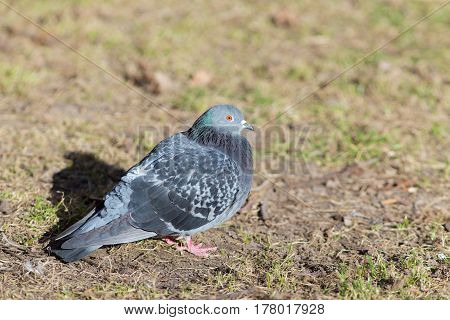 Portrait of a dove on the grass in early spring