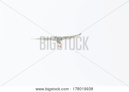 Big white gull wings spread flying in the sky white background space for text