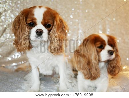 Two Beautiful King Charles Cavalier Dogs sit against a Silver Sequin Background for their fashion photo shoot.