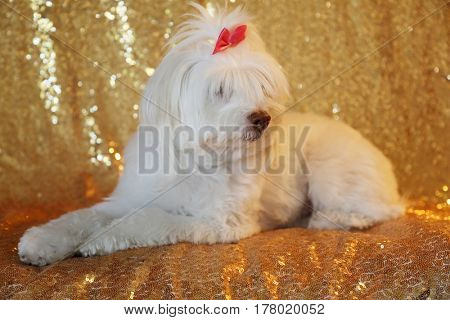 A beautiful White Poodle Mix dog sits against a Gold Sequin background for her fashion photo shoot indoors.