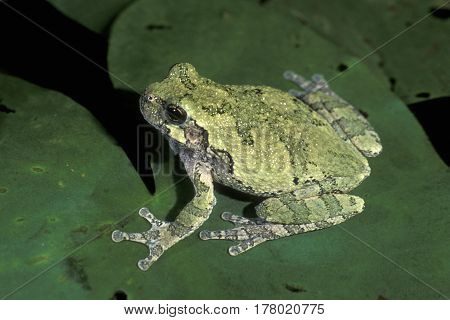 A Gray Tree Frog, Hyla versicolor sitting on a green lily pad