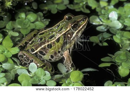 A leopard Frog, Rana pipiens sitting in a shallow pond surrounded by green plants