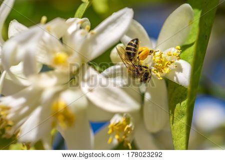 Bee on an orange tree flower. White flowers on the brunch of the tree. Macro