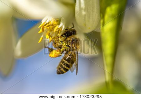 Bee on an orange tree flower. White flowers on the brunch of the tree against the sky. Macro